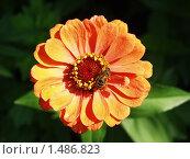 Цветок цинния и пчела