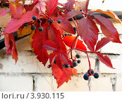 Девичий виноград пятилисточковый, или виноград виргинский (Parthenocissus quinquefolia) осенью, фото № 3930115, снято 14 октября 2012 г. (c) Заноза-Ру / Фотобанк Лори