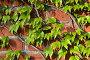 Дикий виноград на старинной стене, фото № 6430239, снято 21 января 2014 г. (c) Сергей Трофименко / Фотобанк Лори