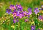 Герань лесная (лат. Geranium silvaticum L), фото № 6501143, снято 20 июля 2009 г. (c) lana1501 / Фотобанк Лори