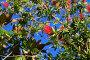 Цветущий каллистемон, фото № 6554755, снято 10 октября 2014 г. (c) Яна Королёва / Фотобанк Лори
