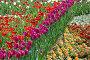 Много красивых тюльпанов на клумбе весной, фото № 6635043, снято 20 мая 2010 г. (c) lana1501 / Фотобанк Лори