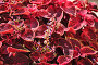 Цветущий Колеус Блюма (Plectranthus scutellarioides), фото № 6653531, снято 21 августа 2014 г. (c) Алёшина Оксана / Фотобанк Лори