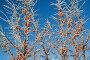 Ветки облепихи с ягодами на фоне голубого неба в морозный день, фото № 6857483, снято 29 декабря 2014 г. (c) Елена Коромыслова / Фотобанк Лори