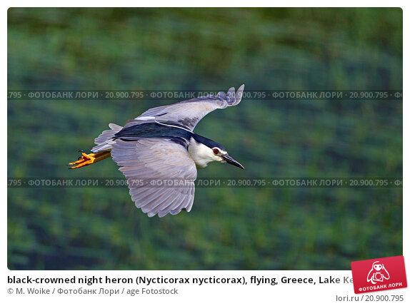 Night heron flying