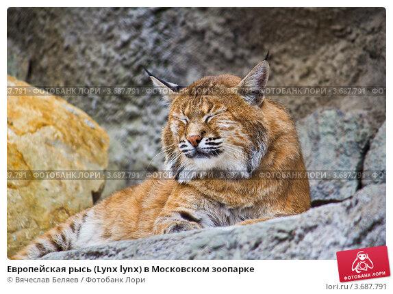 http://prv3.lori-images.net/evropeiskaya-rys-lynx-lynx-v-moskovskom-zooparke-0003687791-preview.jpg