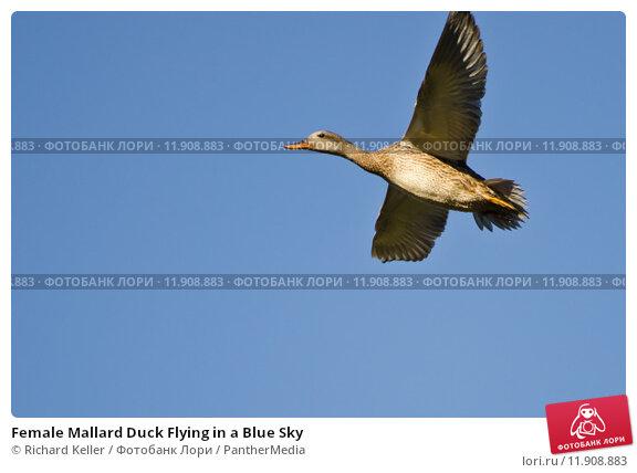 Female mallard duck flying