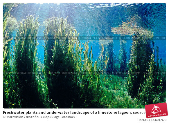 Underwater freshwater plants