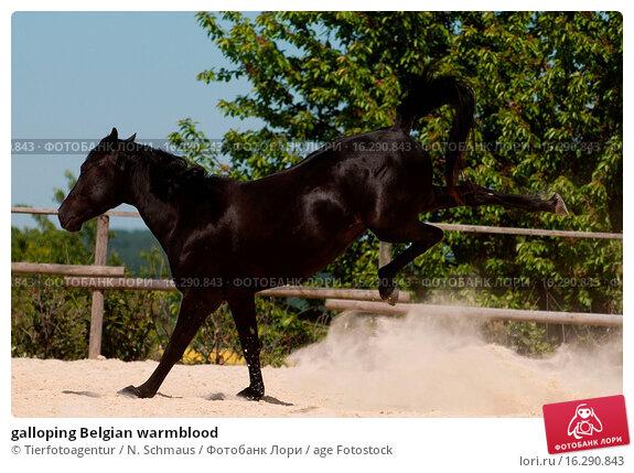 Black belgian warmblood pictures