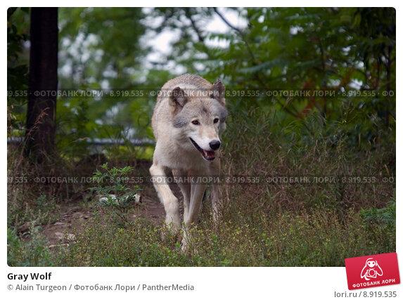 Gray wolf natural habitat