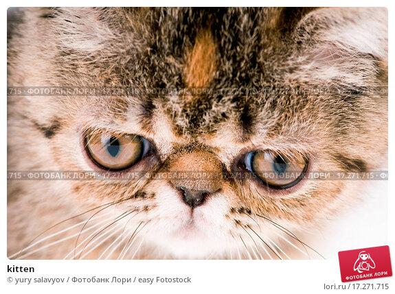 картинки коты с приплюснутой мордой