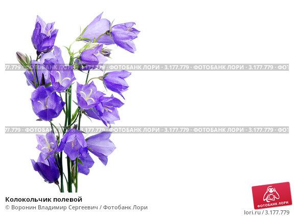 Колокольчик полевой, фото № 3177779, снято 2 июля 2011 г. (c) Воронин Владимир Сергеевич / Фотобанк Лори