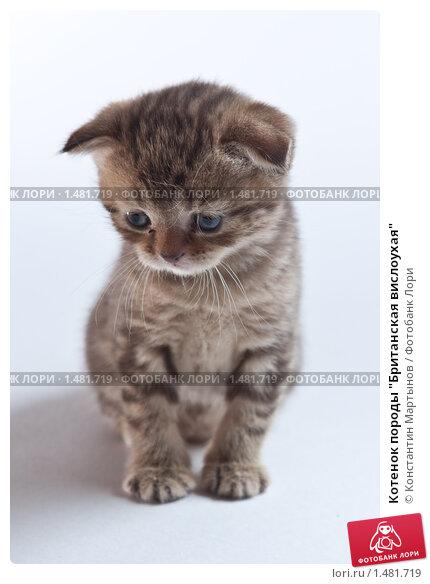 """Котенок породы  """"Британская вислоухая """", фото 1481719."""