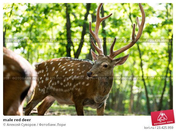Craigslust red deer