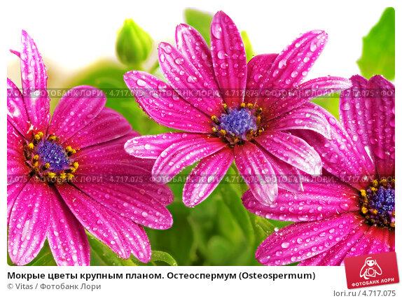 Мокрые цветы газании крупным планом, фото 4717075, снято 12 июня 2013