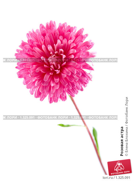 Розовая астра, фото 1325091,…
