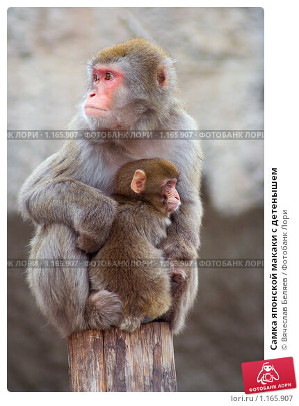 http://prv3.lori-images.net/samka-yaponskoi-makaki-s-detenyshem-0001165907-preview.jpg
