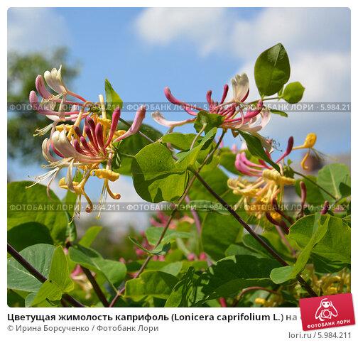 Купить саженцы в тимирязевской академии вишни