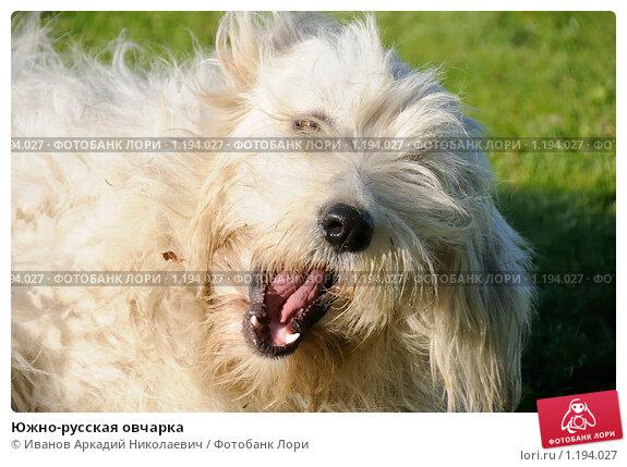 Южно-русская овчарка, фото 1194027, снято 30 сентября 2009 г. (c) Иванов...