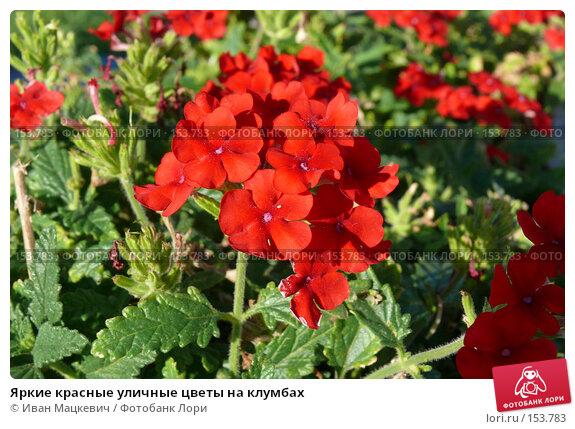 Красные уличные цветы на клумбах