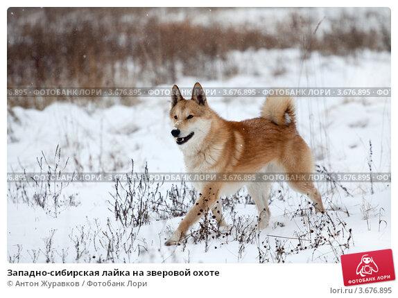 фото охоте на сибирская западно лайка