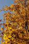 Клен с желтой листвой, фото № 743, снято 1 октября 2005 г. (c) Юлия Яковлева / Фотобанк Лори