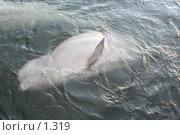 Купить «Дельфин ныряющий», эксклюзивное фото № 1319, снято 15 сентября 2005 г. (c) Ирина Терентьева / Фотобанк Лори