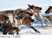 Купить «Олень с языком», фото № 3083, снято 25 марта 2006 г. (c) Николай Гернет / Фотобанк Лори