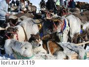 Купить «Олени, собаки, ненцы - репортажный кадр с национального праздника», фото № 3119, снято 25 марта 2006 г. (c) Николай Гернет / Фотобанк Лори