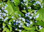 Голубые цветочки (незабудки), фото № 3407, снято 21 мая 2006 г. (c) Маргарита Лир / Фотобанк Лори