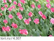 Купить «Розовые тюльпаны», эксклюзивное фото № 4307, снято 29 мая 2006 г. (c) Ирина Терентьева / Фотобанк Лори