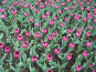 Лиловые тюльпаны, фото № 4427, снято 21 мая 2006 г. (c) Агата Терентьева / Фотобанк Лори