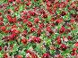 Красные фиалки, фото № 4443, снято 21 мая 2006 г. (c) Агата Терентьева / Фотобанк Лори