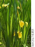 Купить «Ирисы в траве», фото № 4851, снято 18 июня 2006 г. (c) Давид Мзареулян / Фотобанк Лори