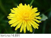 Купить «Одуванчик. Taraxacum. Одиночный объект на однородном фоне.», фото № 4891, снято 21 мая 2006 г. (c) Ольга Красавина / Фотобанк Лори