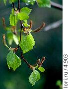 Купить «Березовые листья и сережки после дождя. Капли. Весна», фото № 4903, снято 8 июня 2006 г. (c) Ольга Красавина / Фотобанк Лори