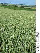 Купить «Поле зеленой пшеницы, вертикальный формат», фото № 4963, снято 28 июня 2006 г. (c) Tamara Kulikova / Фотобанк Лори