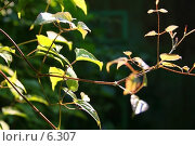 Купить «Листья в контровом свете», фото № 6307, снято 10 июля 2006 г. (c) Тузов Александр / Фотобанк Лори