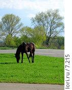 Купить «Пасущийся конь», фото № 7215, снято 18 августа 2018 г. (c) SummeRain / Фотобанк Лори