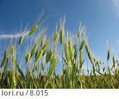 Купить «Солнце и зеленые колоски ржи», фото № 8015, снято 7 июля 2006 г. (c) Петрова Ольга / Фотобанк Лори