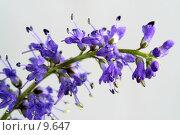 Купить «Сиреневый цветок на белом фоне, макро», фото № 9647, снято 24 июля 2006 г. (c) Ольга Красавина / Фотобанк Лори
