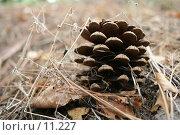 Купить «Старая сосновая шишка на осенней лесной подстилке», фото № 11227, снято 10 сентября 2006 г. (c) Александр Паррус / Фотобанк Лори