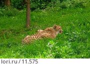 Облизывающийся леопард. Стоковое фото, фотограф Екатерина / Фотобанк Лори