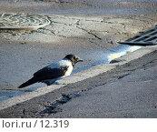Купить «Серая ворона», фото № 12319, снято 24 сентября 2006 г. (c) Roki / Фотобанк Лори