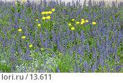 Купить «Одуванчики среди синих цветов», фото № 13611, снято 21 мая 2006 г. (c) Маргарита Лир / Фотобанк Лори