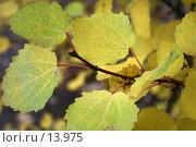 Купить «Ветвь осины с желтой листвой», фото № 13975, снято 17 сентября 2006 г. (c) Ольга Красавина / Фотобанк Лори