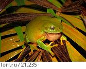 Купить «Litoria caerulea. Самец древесной лягушки в брачном наряде.», фото № 21235, снято 3 февраля 2007 г. (c) Eleanor Wilks / Фотобанк Лори