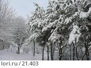 Купить «Заснеженные ели», фото № 21403, снято 31 января 2007 г. (c) Давыдова Нина / Фотобанк Лори