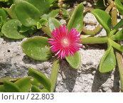 Купить «Цветок на камнях», фото № 22803, снято 9 мая 2006 г. (c) Golden_Tulip / Фотобанк Лори