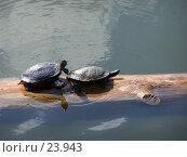 Купить «Черепах толкает черепаху», фото № 23943, снято 14 февраля 2007 г. (c) Julia Nelson / Фотобанк Лори